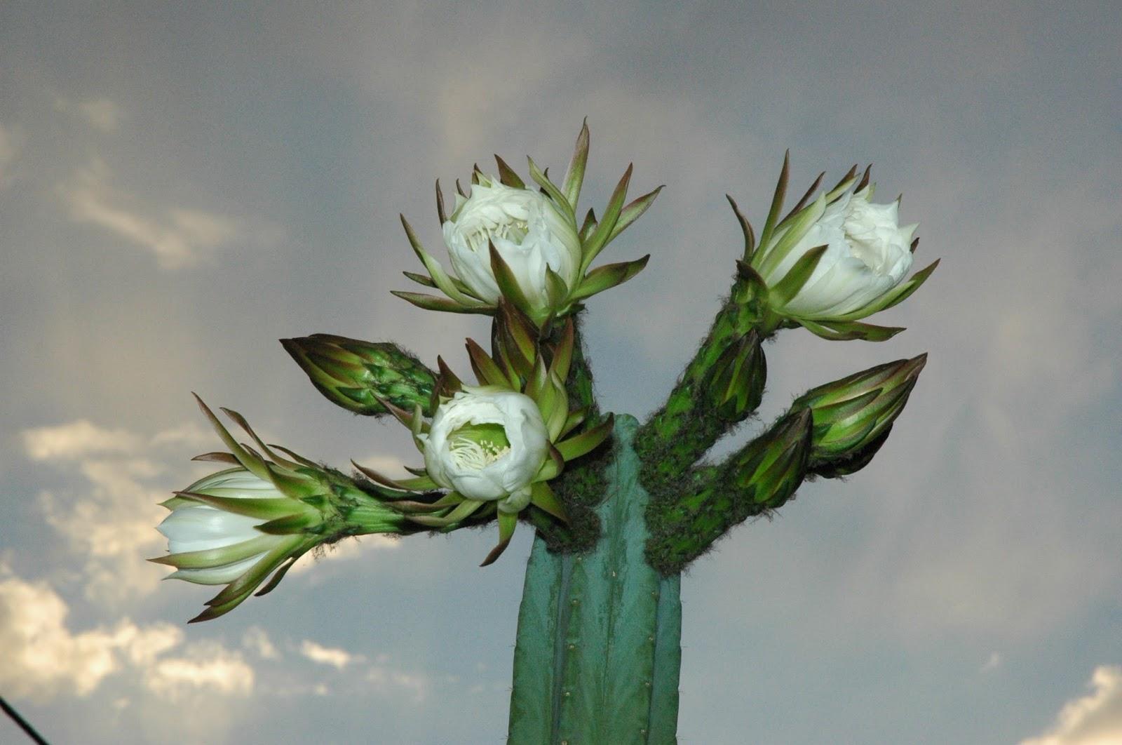 San Pedro Cactus - Wachuma - Medicinal plants